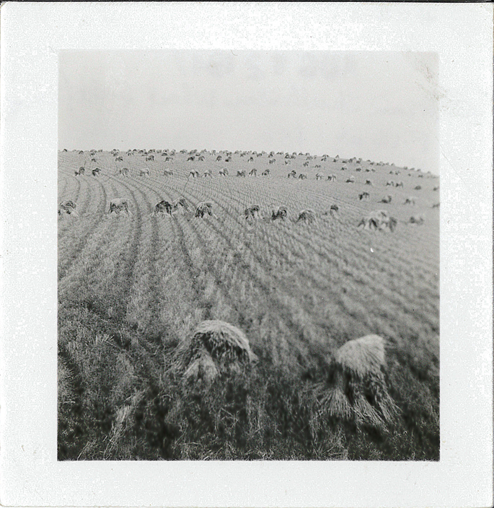 Dean Fullerton's wheat fields while harvesting, 1947.
