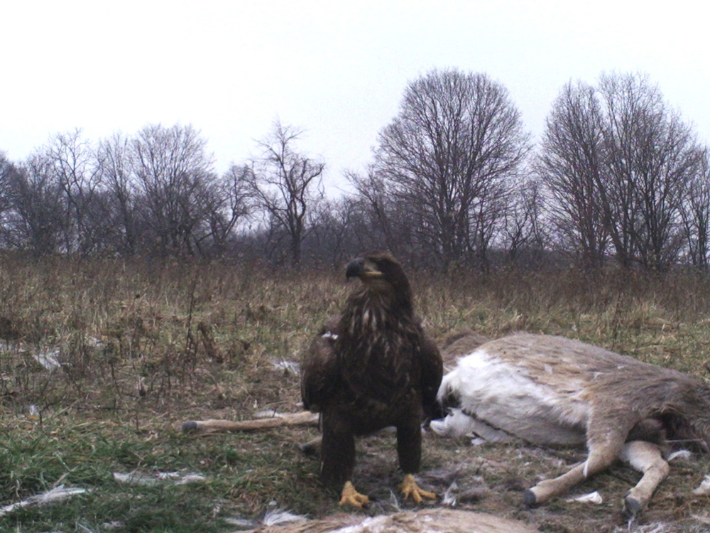 Bald eagle | The Search for Eagles at Meadowcroft | Discover Meadowcroft Blog