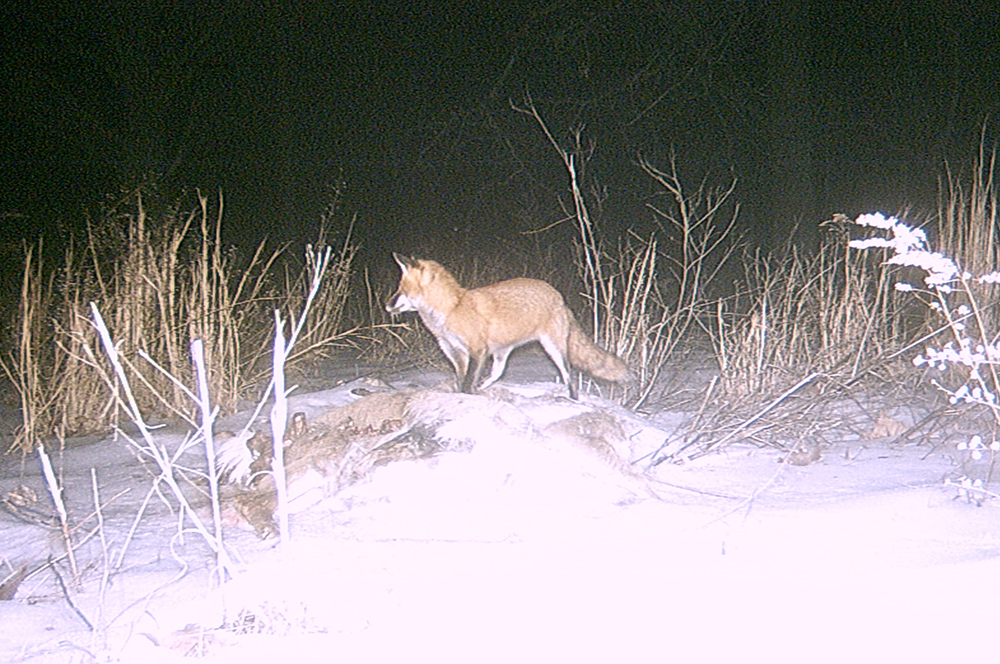 Red fox | The Search for Eagles at Meadowcroft | Discover Meadowcroft Blog