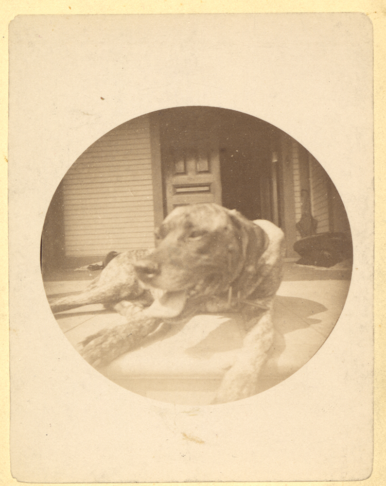 Close up of a dog taken by James Benney with his new Kodak box cameras, 1889. Gift of Ann Darsey Tomson, PSS 20, Detre Library & Archives at the History Center.