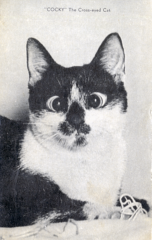 """Cocky"" the cross-eyed cat became a minor Pittsburgh celebrity in the 1940s. General Postcard Collection, Detre Library & Archives at the History Center."