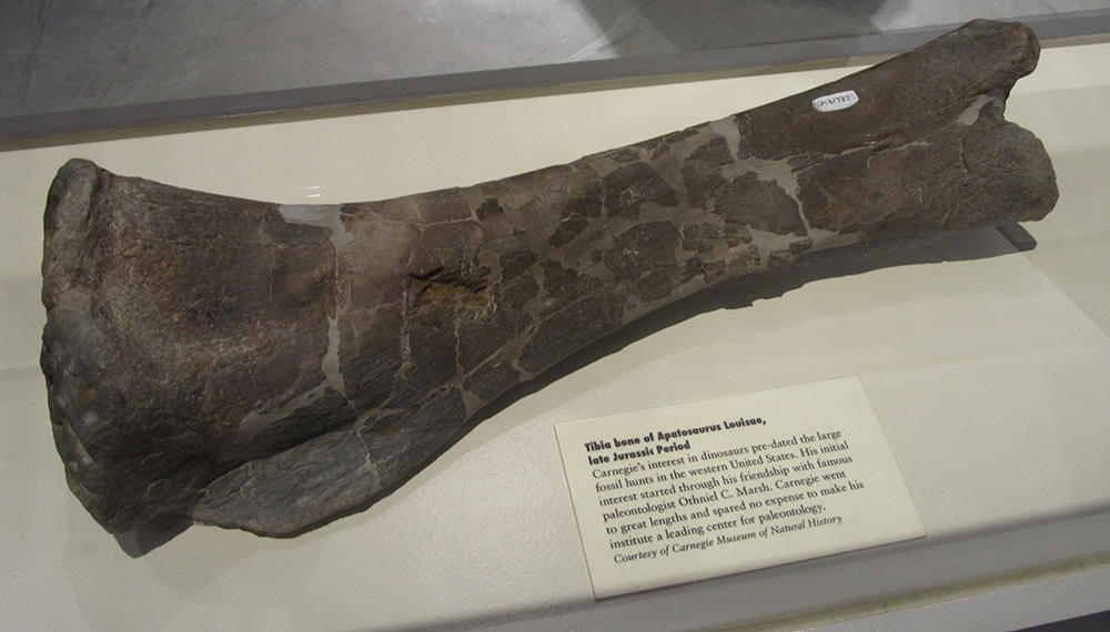 Dinosaur bone, courtesy of Carnegie Museum of Natural History