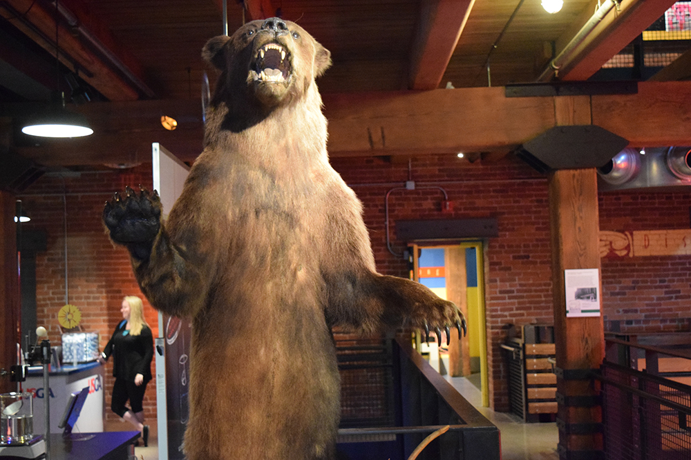 Grizz the bear in the Rediscovering Lewis and Clark exhibition at the Heinz History Center