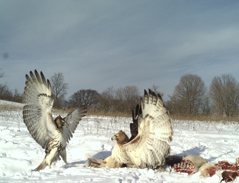 Red Tailed Hawks | The Search for Eagles at Meadowcroft | Discover Meadowcroft Blog