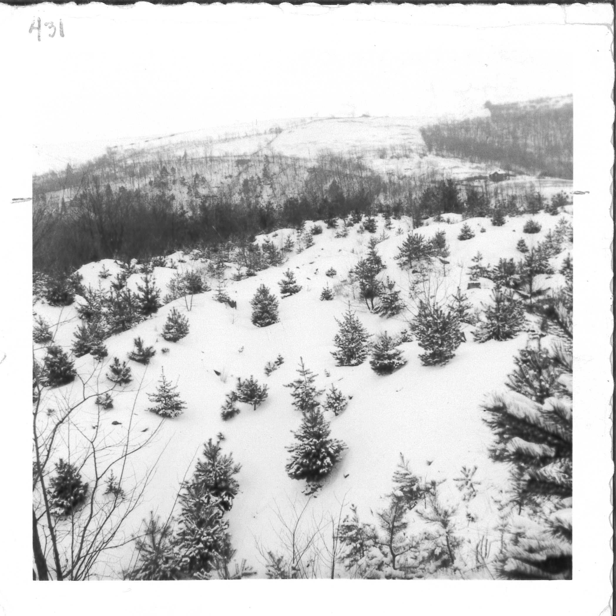 Albert took this image of the 5-year old Scotch Pine plantings. Albert Miller Papers and Photographs, MSS 1095, Meadowcroft Rockshelter and Historic Village.