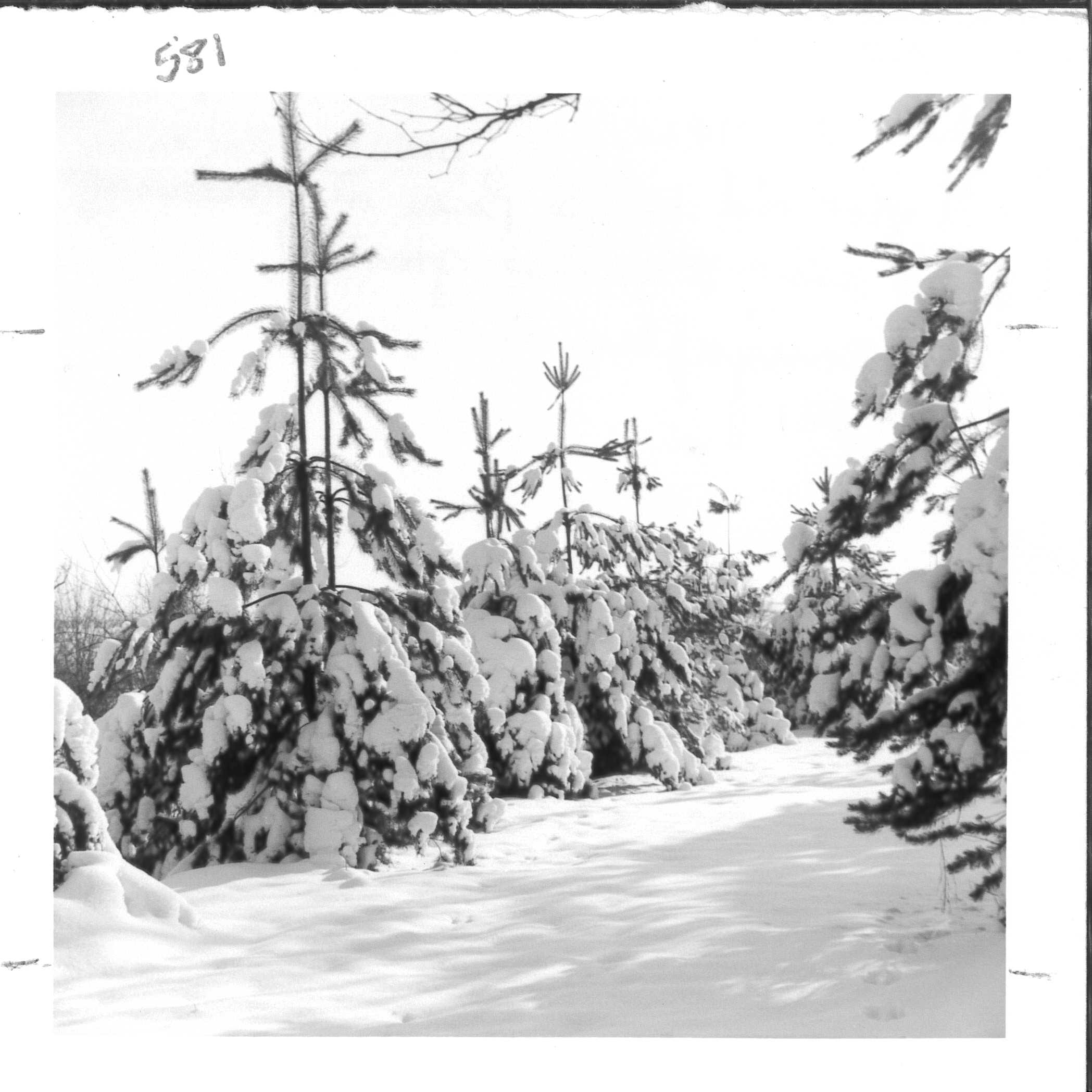 During the early years of the project, aspen and white pines performed the best. White pines like these grew three feet per year. Albert Miller Papers and Photographs, MSS 1095, Meadowcroft Rockshelter and Historic Village.