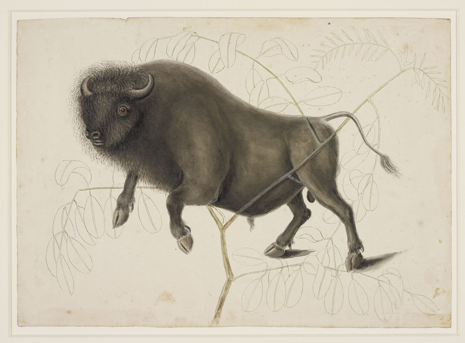 Mark Catesby, Bison, c. 1768.