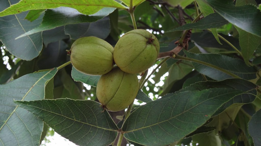 Hickory trees provide nuts at Meadowcroft just as they have for at least 15,000 years.