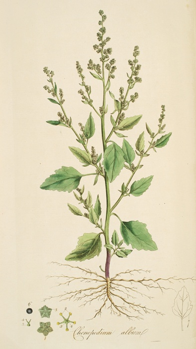 Botanical illustration of Lambsquarters also called Goosefoot, a nutritious part of the Eastern Agricultural Complex.